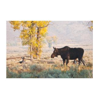 Moose (Alces Alces) Cow In Sage Brush Canvas Print