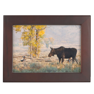 Moose (Alces Alces) Cow In Sage Brush Memory Box
