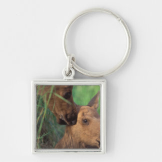 moose, Alces alces, cow with newborn calf, Keychain