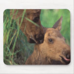 moose, Alces alces, cow with newborn calf, Mouse Pad