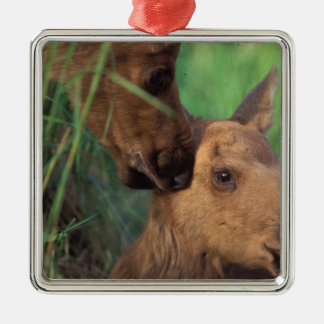 moose Alces alces cow with newborn calf Christmas Ornaments