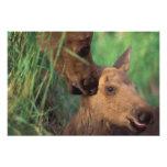moose, Alces alces, cow with newborn calf, Photo Print