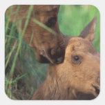 moose, Alces alces, cow with newborn calf, Square Sticker