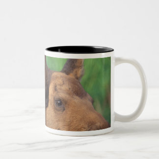 moose, Alces alces, cow with newborn calf, Two-Tone Coffee Mug