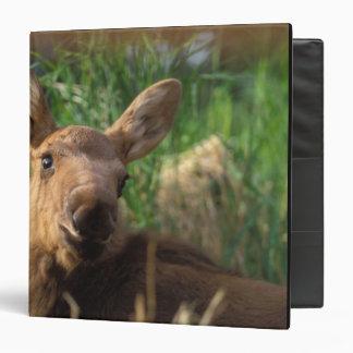 moose, Alces alces, newborn calf resting in Binder