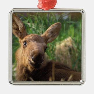 moose Alces alces newborn calf resting in Christmas Tree Ornament