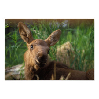 moose, Alces alces, newborn calf resting in Poster