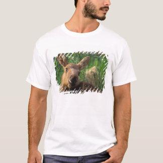 moose, Alces alces, newborn calf resting in T-Shirt