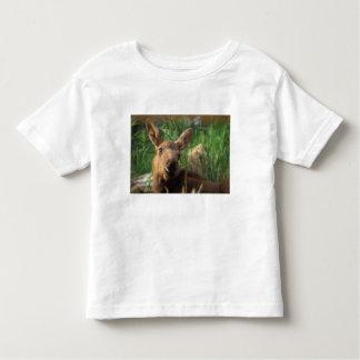 moose, Alces alces, newborn calf resting in Tees