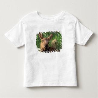 moose, Alces alces, newborn calf resting in T Shirts