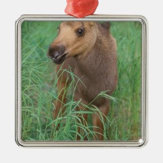moose Alces alces newborn calf stands in 2 Christmas Ornament