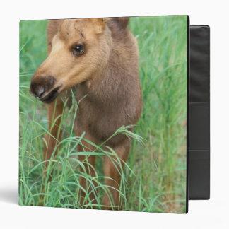 moose, Alces alces, newborn calf stands in Binder