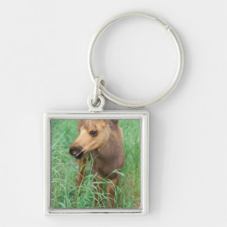 moose, Alces alces, newborn calf stands in Keychain