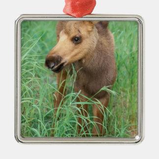 moose Alces alces newborn calf stands in Ornaments