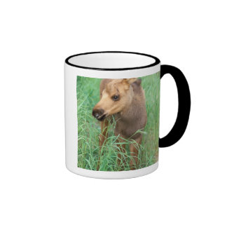 moose, Alces alces, newborn calf stands in Ringer Mug
