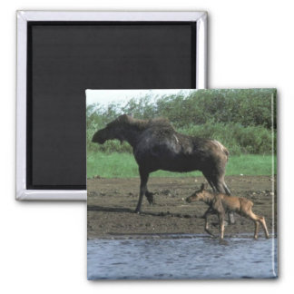 Moose and Calf 2 Inch Square Magnet