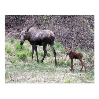 Moose and Calf Postcard