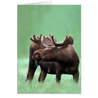 Moose at Yellowstone National Park Card