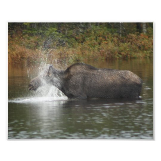 Moose Bath Photo Print