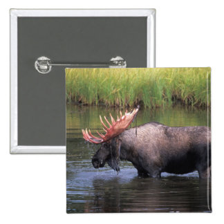 moose, bull in a kettle pond and feeds on 2 inch square button
