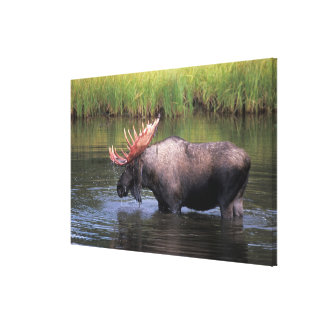 moose, bull in a kettle pond and feeds on canvas print