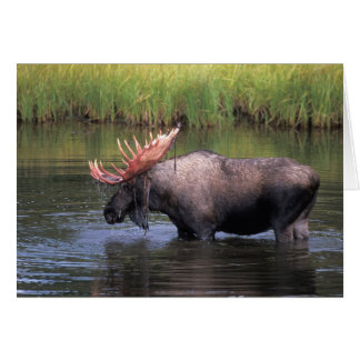 moose, bull in a kettle pond and feeds on greeting card
