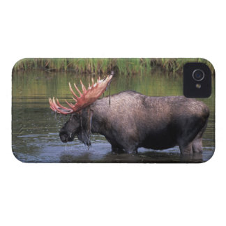 moose, bull in a kettle pond and feeds on iPhone 4 Case-Mate cases