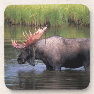 moose, bull in a kettle pond and feeds on beverage coasters