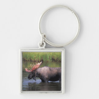 moose, bull in a kettle pond and feeds on Silver-Colored square keychain