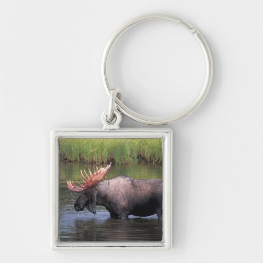 moose, bull in a kettle pond and feeds on key chains