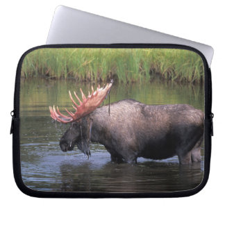 moose, bull in a kettle pond and feeds on laptop sleeves