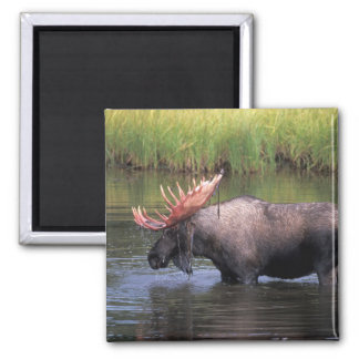 moose, bull in a kettle pond and feeds on 2 inch square magnet