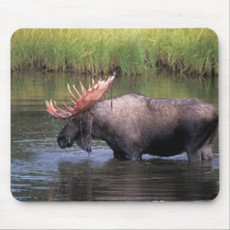 moose, bull in a kettle pond and feeds on mouse pad