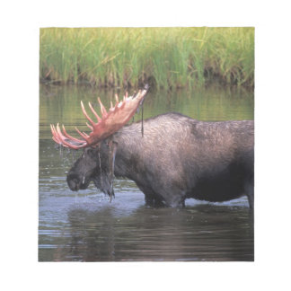 moose, bull in a kettle pond and feeds on scratch pads