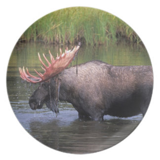 moose, bull in a kettle pond and feeds on plate