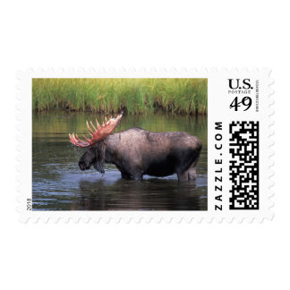 moose, bull in a kettle pond and feeds on postage stamp