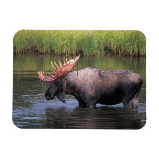 moose, bull in a kettle pond and feeds on rectangular photo magnet