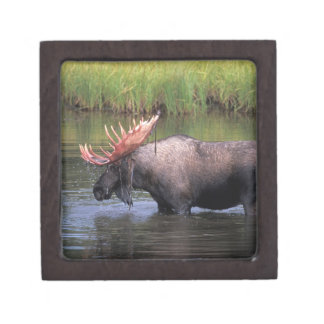 moose, bull in a kettle pond and feeds on premium trinket boxes