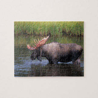 moose, bull in a kettle pond and feeds on jigsaw puzzle