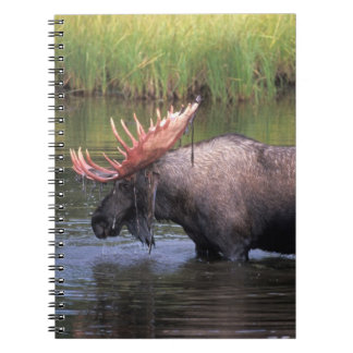 moose, bull in a kettle pond and feeds on spiral notebook