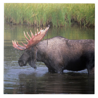 moose, bull in a kettle pond and feeds on large square tile