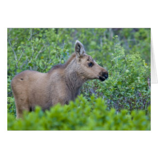Moose calf in the Many Glacier Valley of Greeting Card