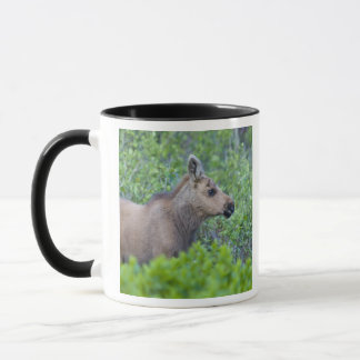 Moose calf in the Many Glacier Valley of Mug