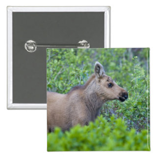 Moose calf in the Many Glacier Valley of Pinback Button