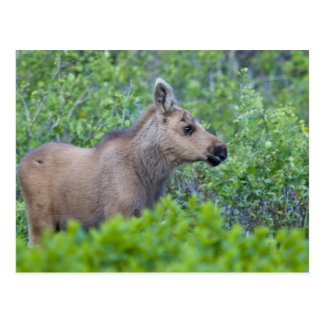 Moose calf in the Many Glacier Valley of Postcard