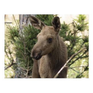 Moose Calf Postcard