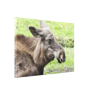 Moose Cow Profile Shot Canvas Print