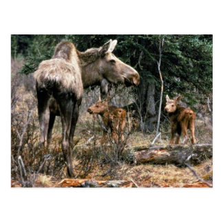 Moose cow with two calves postcard