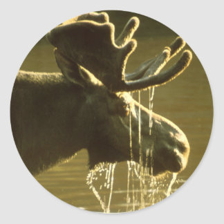 Moose Dipping His Head Into Water Classic Round Sticker