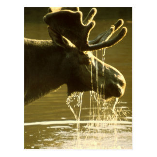 Moose Dipping His Head Into Water Postcard